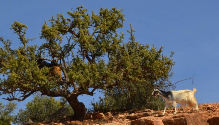 On the Interface between Moroccan Agdals and the Arganeraie Biosphere Reserve